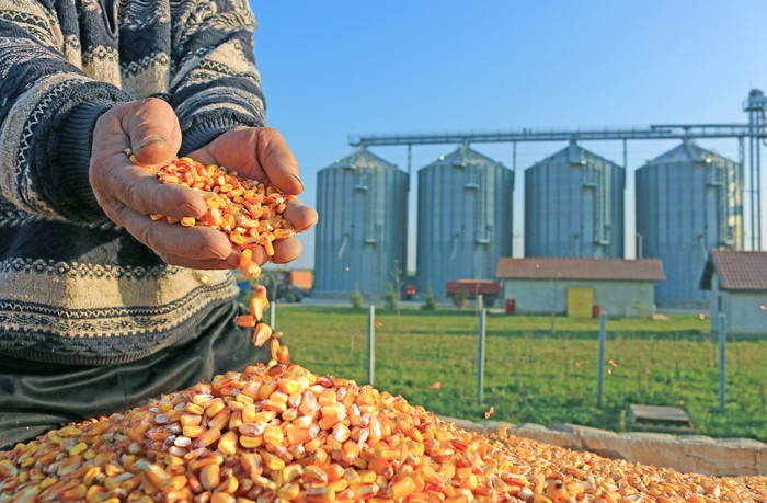 A person scooping up a pile of corn grains, grain elevators are in the background.