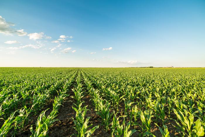 Rows of corn extending into the horizon.