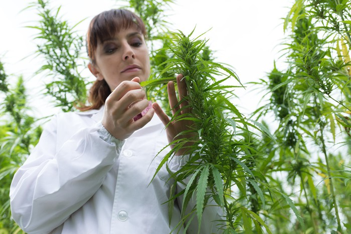 A researcher in a white lab coat studies a growing marijuana plant in a field.