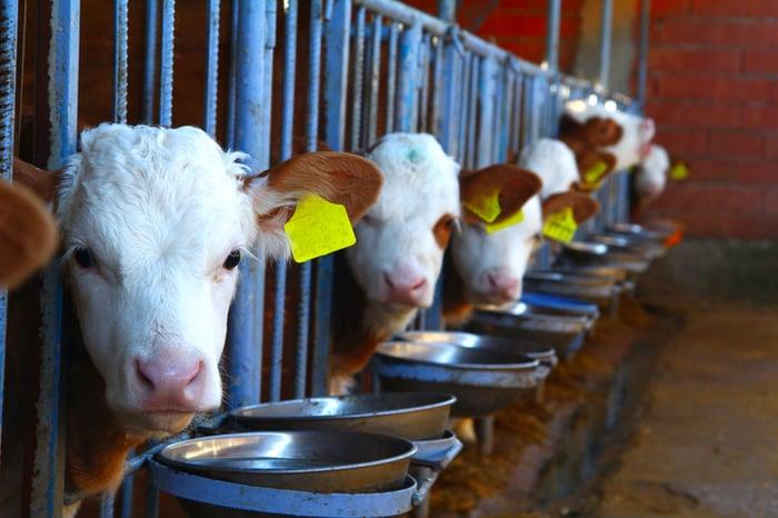 Cows feeding.