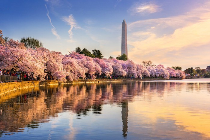 Washington Monument in background, with cherry blossom trees in bloom in front of body of water.