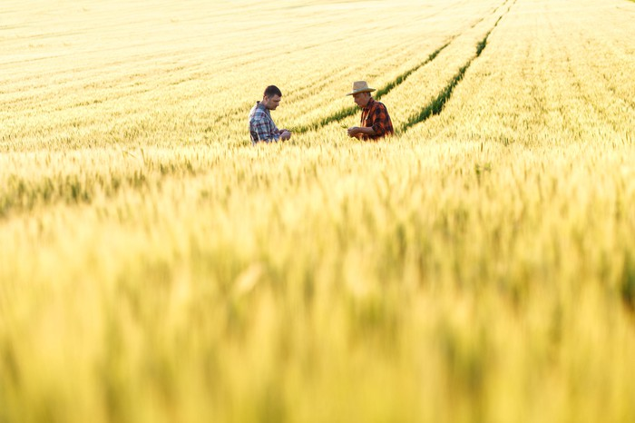Two farmers in a wheat field