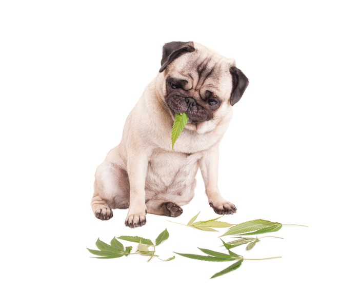 Pug dog eating marijuana leaf