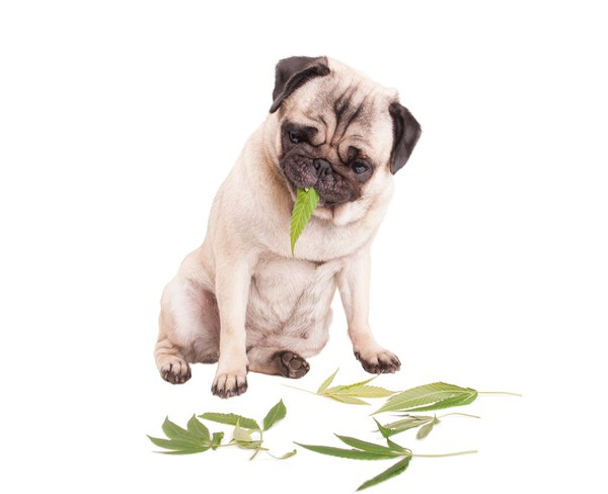 Dog eating marijuana leaf