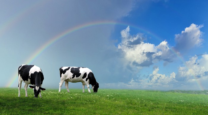 Two cows grazing in a field under a rainbow.