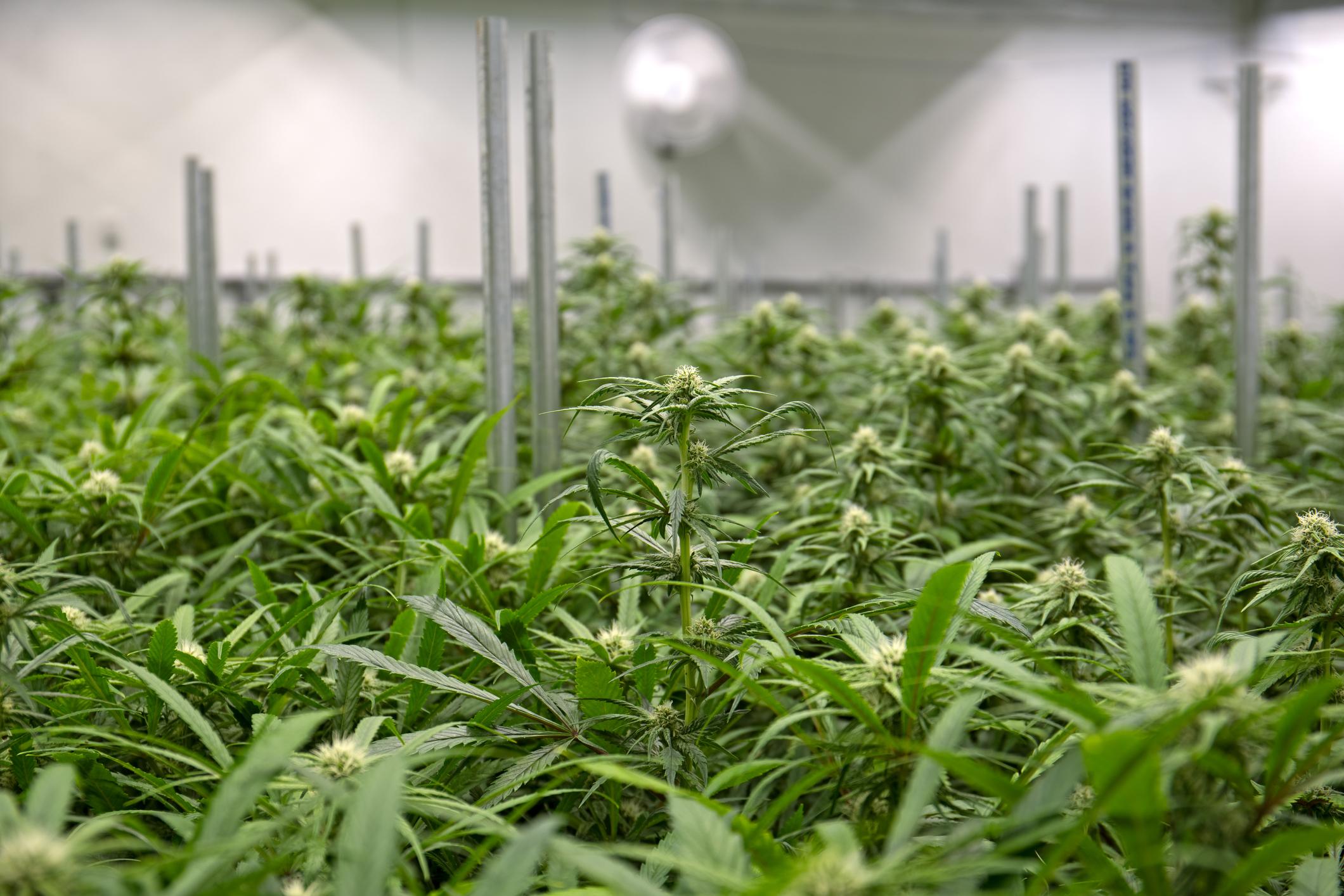 An indoor commercial cannabis farm.
