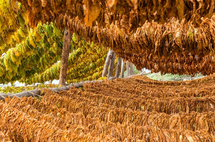 Tobacco leaves drying from hung lines.