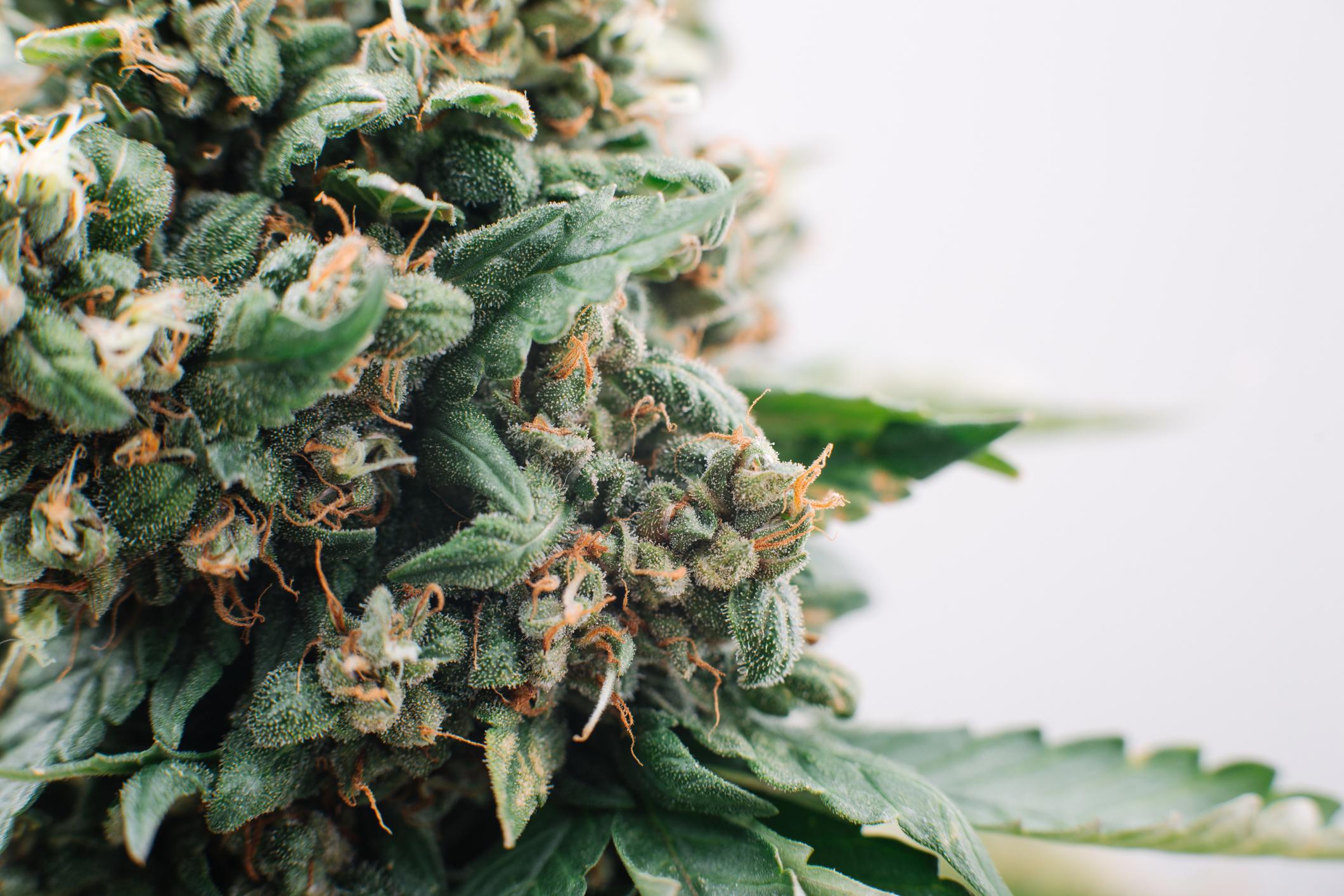A marijuana bud.