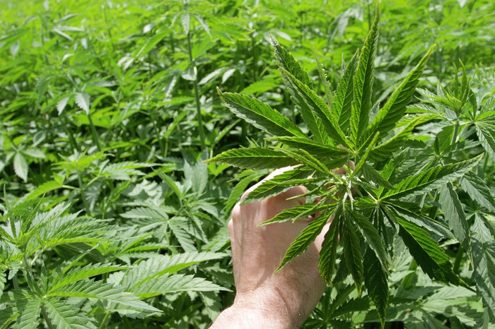 A person holding a cannabis leaf in the middle of a huge outdoor farm.