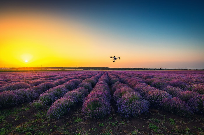 Drone flying above a field of purple bushes.