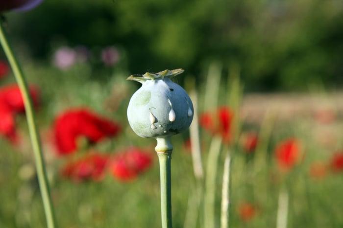 Opium poppy plants