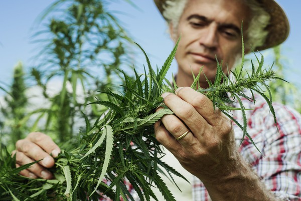Cannabis Hemp Farmer Marijuana Pruning Plant Getty