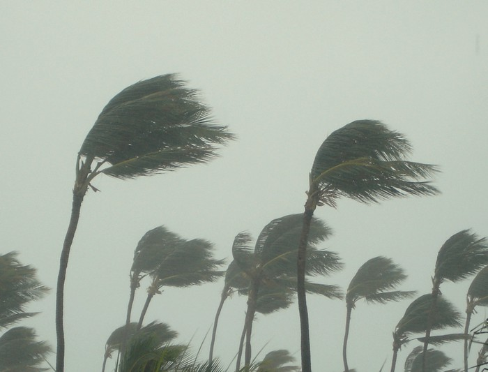 Palm trees being blown by extremely strong winds.