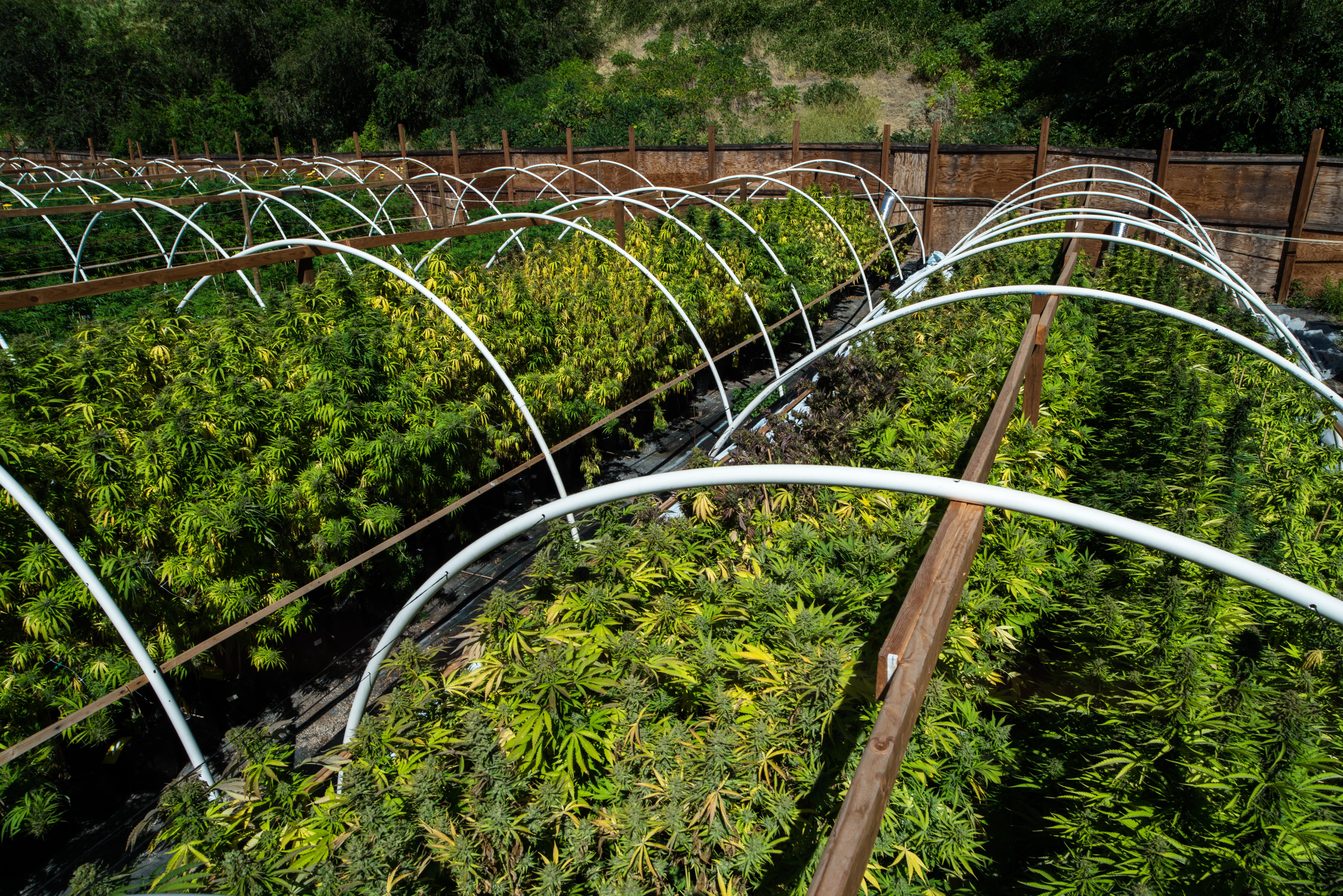 An outdoor cannabis grow facility.