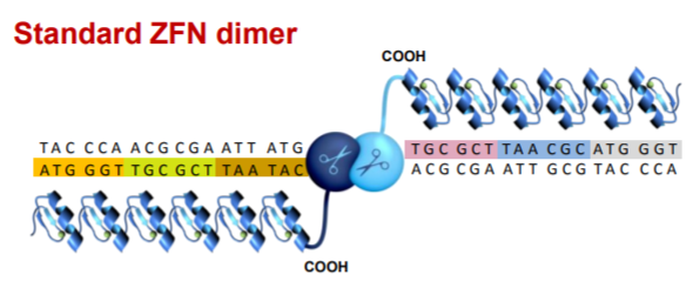 A representation of a strand of DNA and how combining zinc-finger proteins with Fok1 can make a cut.