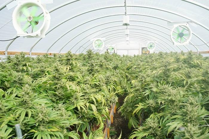An indoor cannabis growing facility.