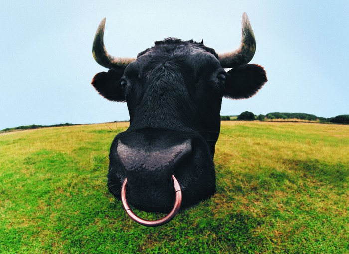 A cow in a field with its face almost touching the camera lens.