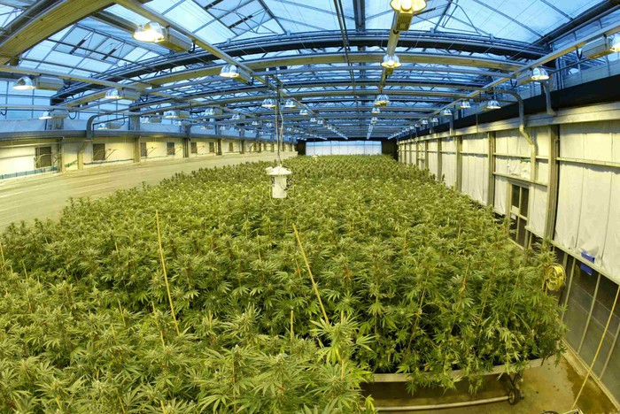A GW Pharmaceutical marijuana grow house with many rows of plants.