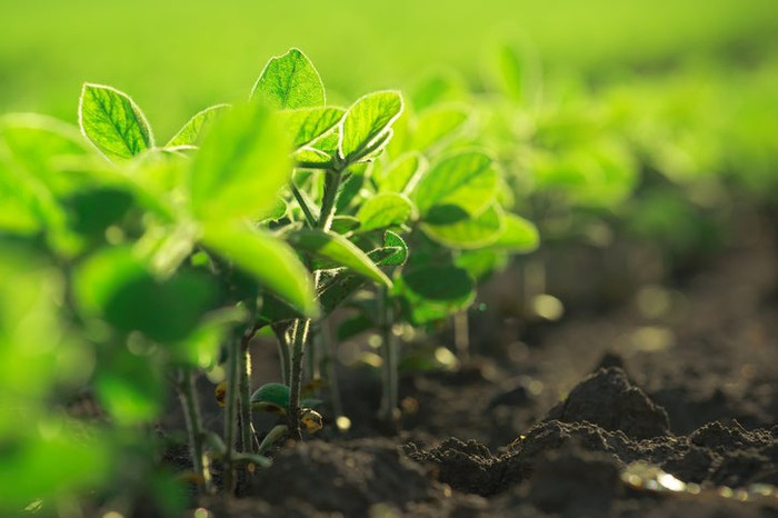 Small soybean plants in the field.