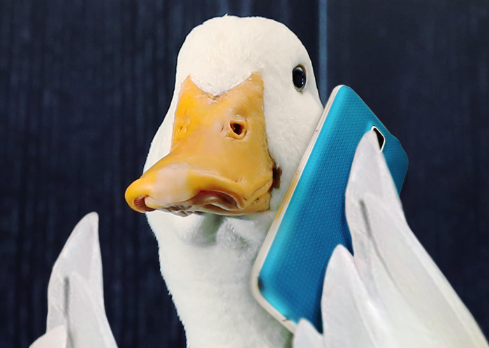 White duck with yellow beak holding blue cellphone in a wing.