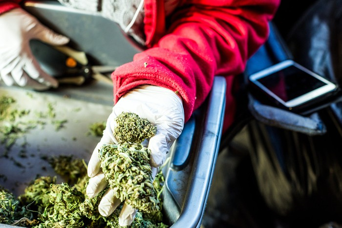 A cannabis processor wearing white gloves and holding trimmed buds in their hand.