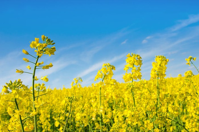 A field of oil rapeseed.