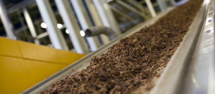 Conveyor belt carrying loose tobacco in a manufacturing facility.