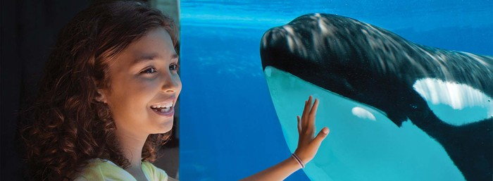 A girl puts her hand on a tank wall next to an orca.