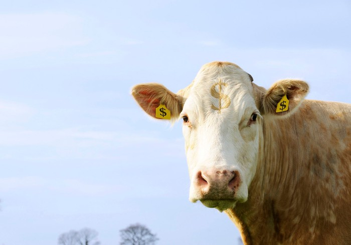 A cow with ear tags showing dollar symbols