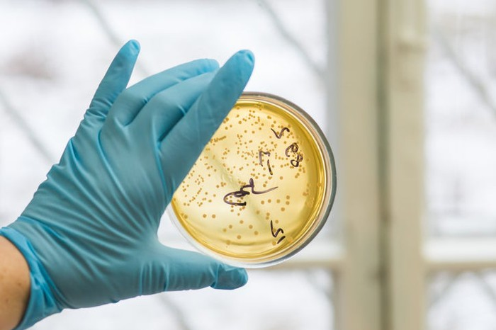 A gloved-hand holding up a petri dish used to isolate soil microbes.