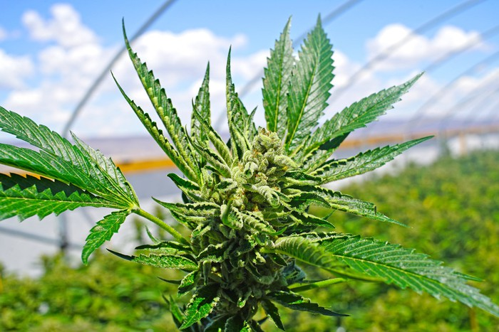 A cannabis plant up close, growing in an outdoor commercial farm.