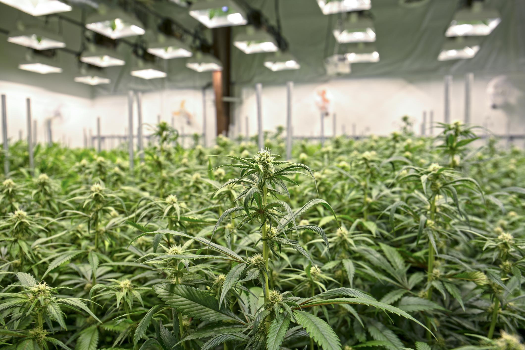 Indoor production facility with rows of marijuana plants.