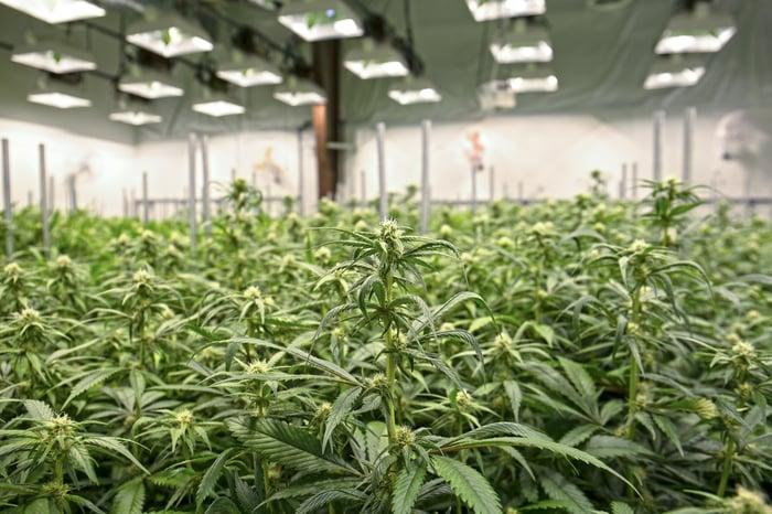 Indoor growing facility with dozens of marijuana plants under lamps.