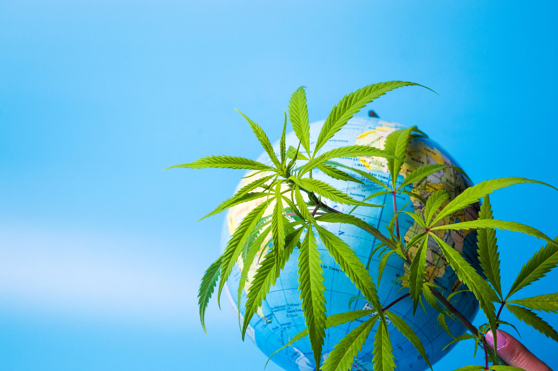 Marijuana plant in front of a globe.