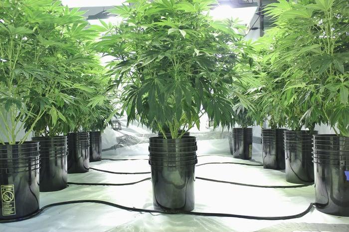 An indoor hydroponic cannabis grow facility.