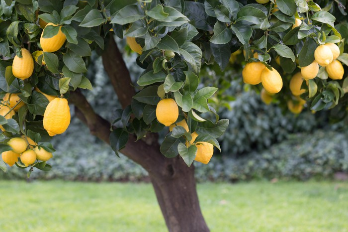 Lemon tree with large, ripe fruit.