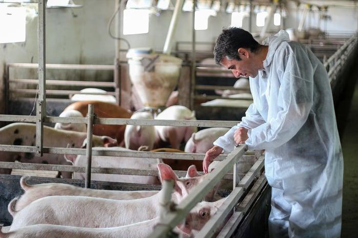 Veterinarian examining pigs.