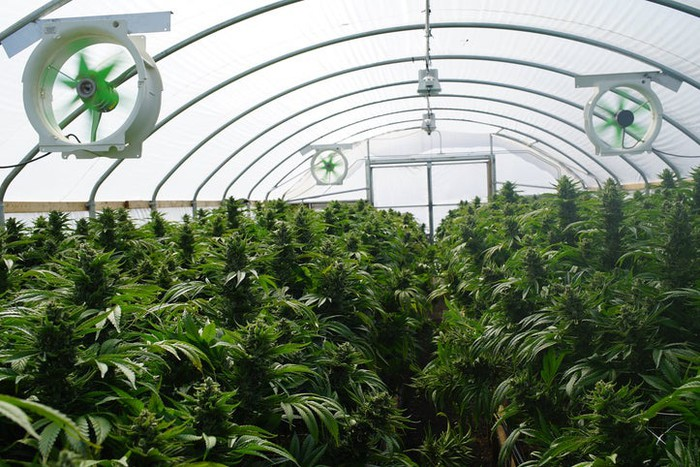 Interior view of a greenhouse growing marijuana plants, with fans and the facility's framing visible.