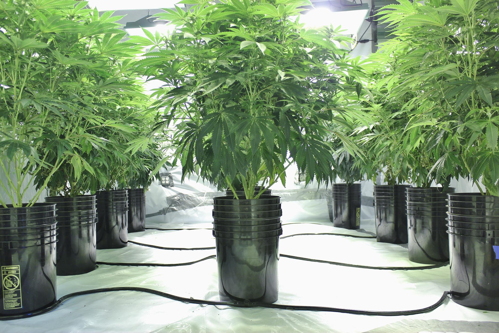 An indoor commercial hydroponic cannabis grow farm.