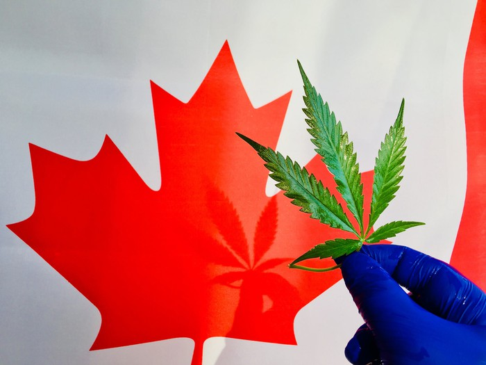Hand in a blue glove holding a marijuana leaf in front of an image of a red Canadian maple leaf