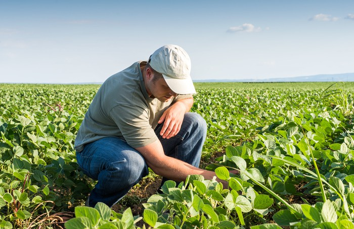 A male soybean farmer crouched down while inspecting plants in a field