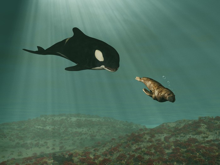 Orca chasing a walrus