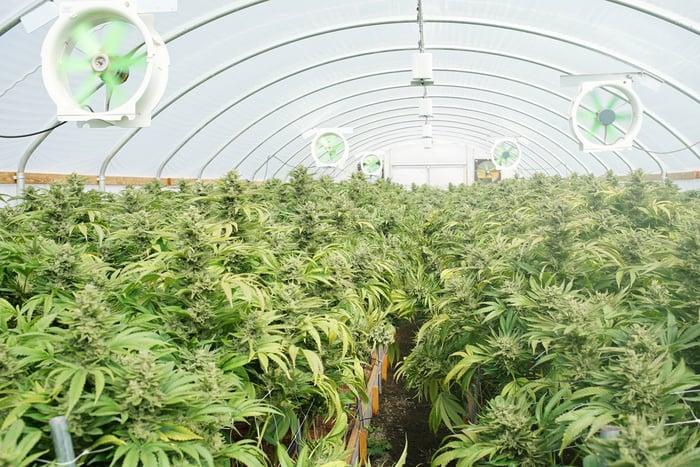 Marijuana grows in a greenhouse.