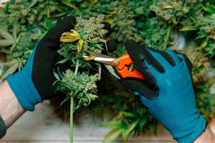 Hands trimming marijuana flower.