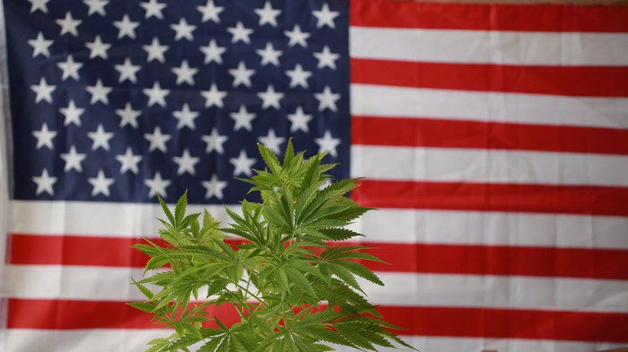 Marijuana plant in front of the U.S. flag.