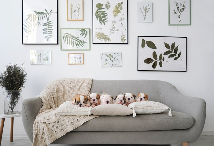 Six bulldog puppies on a sofa in front of wall covered in framed prints.