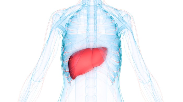 3D image showing the position of the liver inside the human body.