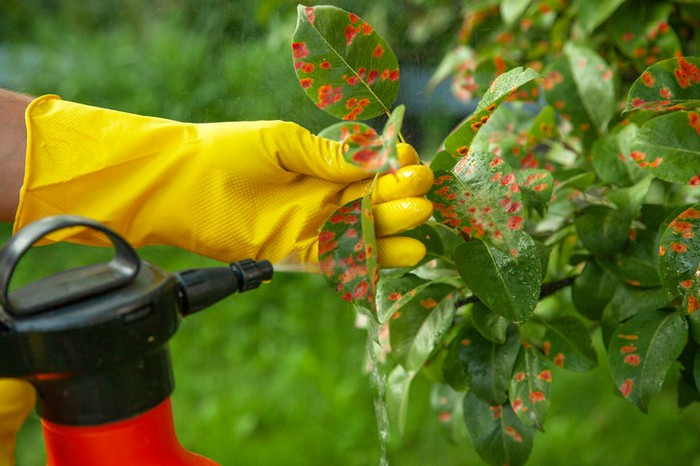 Someone spraying pesticides on a pear tree