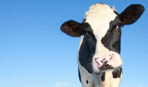 569 dairy cow