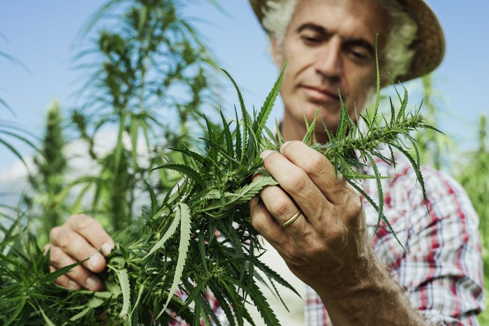 A hemp farmer examining and pruning a hemp plant.